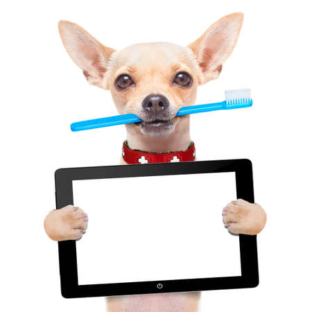 mouth cavity: chihuahua dog holding a toothbrush with mouth holding a blank pc computer tablet touch screen, isolated on white background