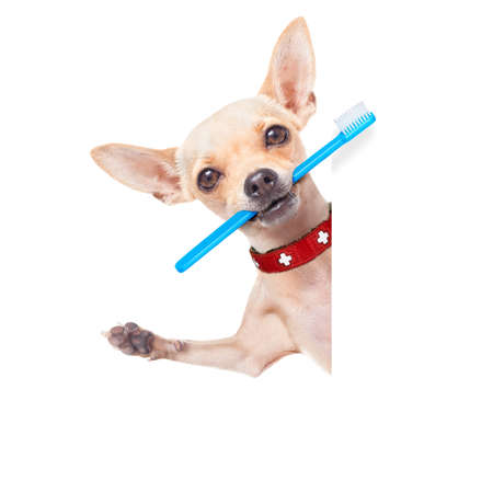 chihuahua dog holding a toothbrush with mouth behind a blank banner or placard, isolated on white background