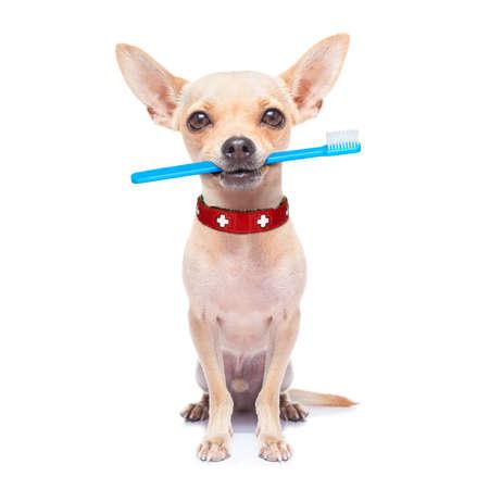 čivava pes drží kartáček na zuby s ústy, izolovaných na bílém pozadí Reklamní fotografie