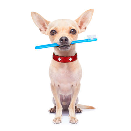 white teeth: chihuahua dog holding a toothbrush with mouth , isolated on white background Stock Photo