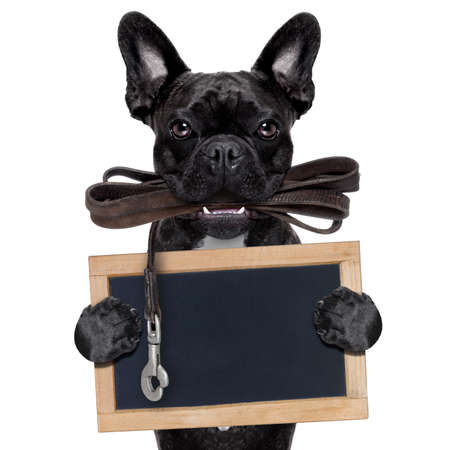 french bulldog dog   waiting to go for a walk with owner, leather leash in mouth, holding a blank blackboard, isolated on white background