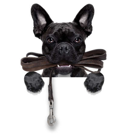 obedient: french bulldog dog   waiting to go for a walk with owner, leather leash in mouth, behind blank  banner, isolated on white background