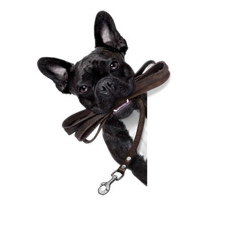 buldog: perro francés bulldog esperando para ir a dar un paseo con el dueño, correa de cuero en la boca, detrás de la pancarta en blanco, sobre fondo blanco Foto de archivo