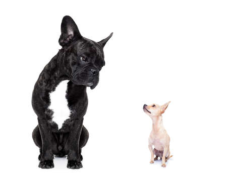 perro asustado: un gran bulldog francés y el pequeño perro chihuahua pequeño mirando el uno al otro, los sentimientos involucrados, aislado en fondo blanco Foto de archivo