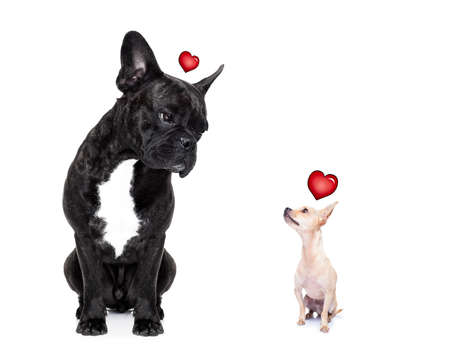 chihuahua and french bulldog, attracted and looking to each other in love, isolated on white background Stock Photo - 36825935