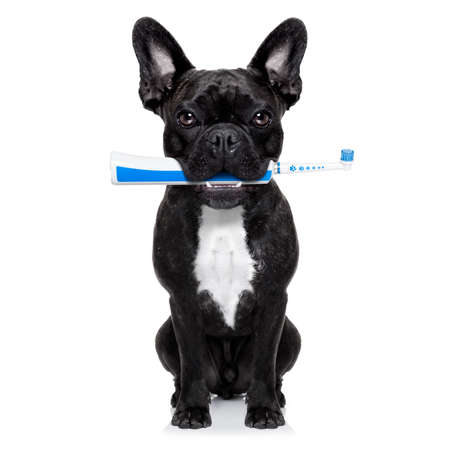 white teeth: french bulldog dog holding electric toothbrush with mouth , isolated on white background