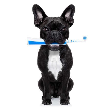 caries dental: perro bulldog franc�s que sostiene el cepillo de dientes el�ctrico con la boca, aislado en fondo blanco