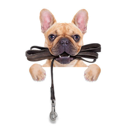 leashes: fawn french bulldog with leather leash ready for a walk with owner, isolated on  white isolated background