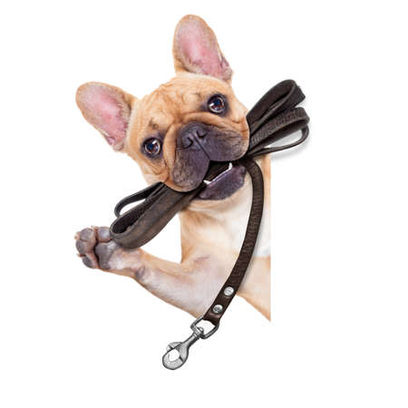 fawn french bulldog with leather leash ready for a walk with owner, isolated on  white isolated background