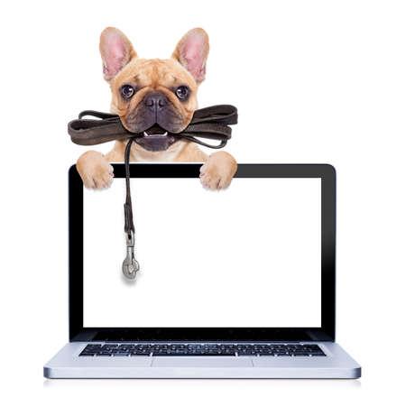 dogo: bulldog franc�s cervatillo con correa de cuero dispuestos a dar un paseo con el due�o, detr�s de una pantalla de ordenador de la PC port�til, aislado sobre fondo blanco aislado Foto de archivo