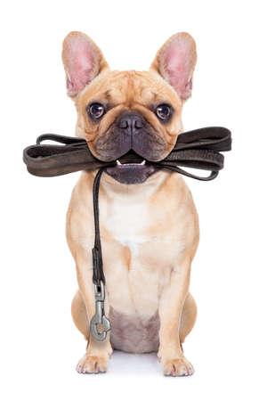 obediência: bajular buldogue franc�s de estar com coleira de couro pronto para um passeio com propriet�rio, isolado no fundo branco isolado