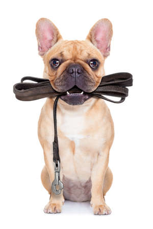 dog leash: fawn french bulldog sitting with leather leash ready for a walk with owner, isolated on  white isolated background