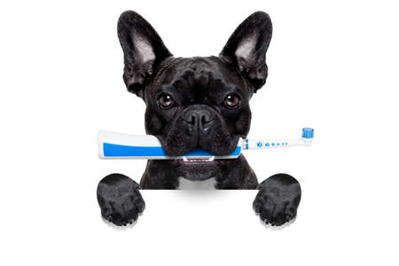dental plaque: french bulldog dog holding electric toothbrush with mouth , behind  blank white banner,isolated on white background Stock Photo