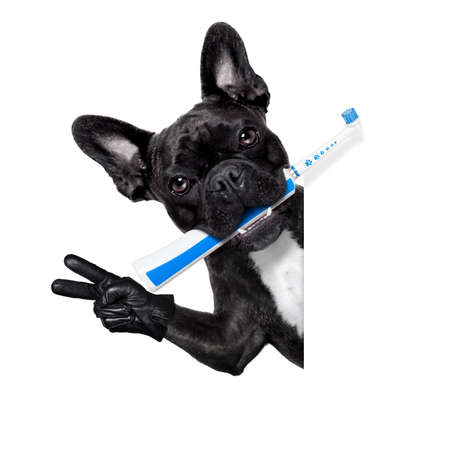 animal health: french bulldog dog holding electric toothbrush with mouth , beside white blank banner or placard, isolated on white background
