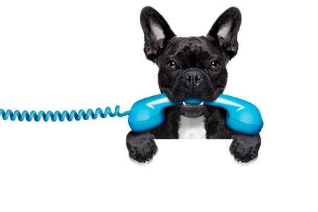 bulldog: perro bulldog franc�s que sostiene un tel�fono retro viejo detr�s de una pancarta vac�o blanco o cartel, aislado en fondo blanco
