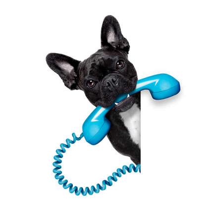 landline: french bulldog dog holding a old retro telephone behind a blank empty banner or placard,isolated on white background