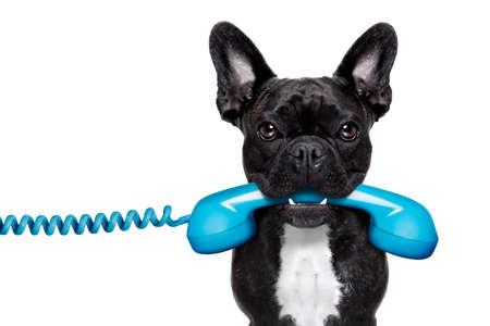 frans: franse bulldog hond houden van een oude retro telefoon, geïsoleerd op een witte achtergrond