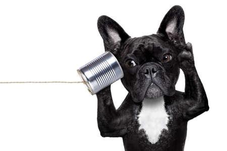 surprised: perro bulldog francés escuchar o hablar por teléfono lata, aislado en fondo blanco