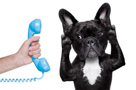 funny animals: french bulldog dog listening or talking on the phone or  telephone, isolated on white background Stock Photo