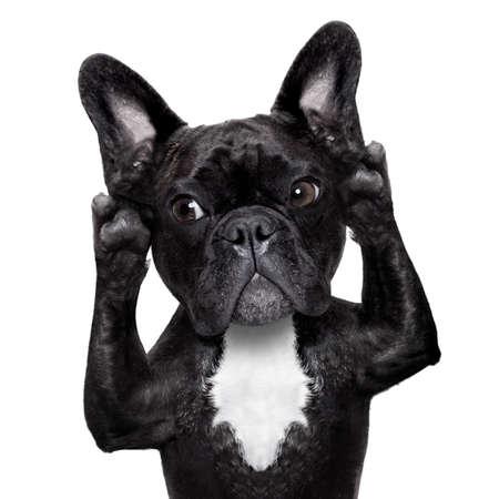 フレンチ ブルドッグ犬を言う、白の背景に分離がある耳を澄ます