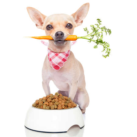 chihuahua dog eating healthy with a carrot in mouth , isolated on white background Stock Photo