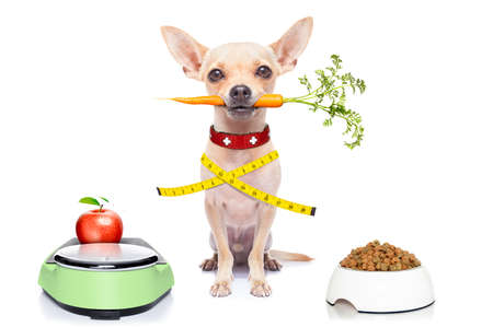 healthy hungry chihuahua dog with bowl and scale , isolated on white background