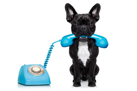 funny people: french bulldog dog on the phone or telephone in mouth, isolated on white background