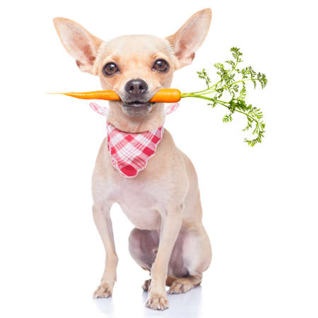 chihuahua dog eating healthy with a carrot in mouth , isolated on white background Standard-Bild