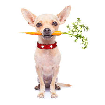 dog eating: chihuahua dog eating healthy with a carrot in mouth , isolated on white background Stock Photo