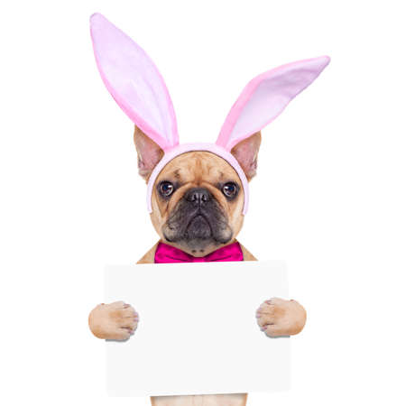 funny easter: french bulldog dog  with bunny easter ears and a pink tie, holding a blank banner,placard or blackboard, isolated on white background Stock Photo