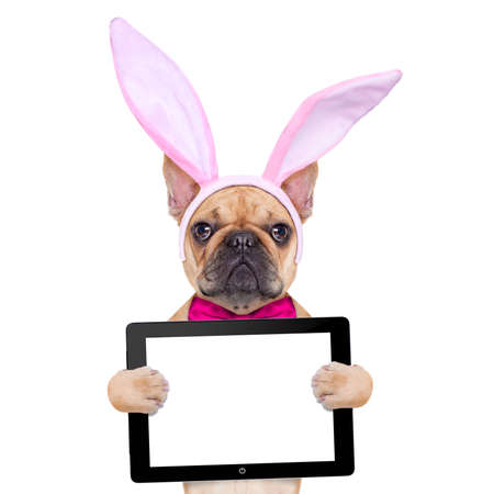pascuas navide�as: perro bulldog franc�s con los o�dos del conejito de pascua y un lazo rosa, la celebraci�n de una tableta de ordenador PC port�til en blanco, aislado en fondo blanco