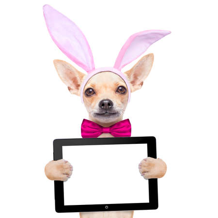 bunny ears: chihuahua dog  with bunny easter ears and a pink tie, holding a blank laptop pc computer tablet , isolated on white background Stock Photo
