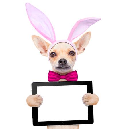 osterhase: Chihuahua Hund mit H�schenostern-Ohren und einem rosa Krawatte, die eine leere Laptop-PC-Computer Tablette, isoliert auf wei�em Hintergrund Lizenzfreie Bilder