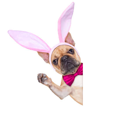 dog in costume: fench bulldog dog  with bunny easter ears and pink tie behind a white blank banner or plakard, isolated on white background Stock Photo