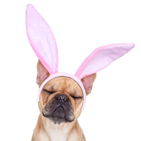 rabbits: french bulldog dog  with bunny easter ears ,sleeping with closed eyes ,  isolated on white background Stock Photo