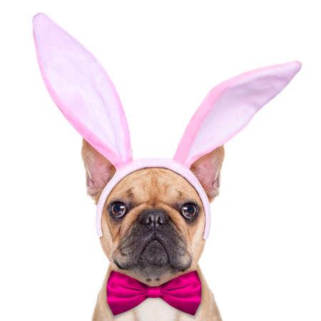 buldog: perro bulldog francés con los oídos del conejito de pascua y un lazo rosa, tan cerca, aislado en fondo blanco Foto de archivo