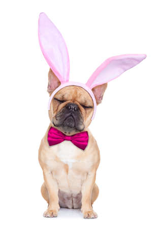 closed eye: french bulldog dog  with bunny easter ears and a pink tie , isolated on white background