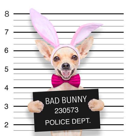 cane chihuahua: cane chihuahua molto male, alla stazione di polizia, tenendo bandiera o striscione come una foto segnaletica
