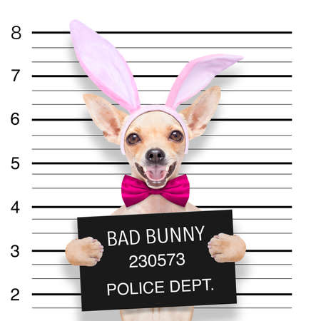 very bad chihuahua dog, at the police station ,holding banner or placard as a mugshot Standard-Bild