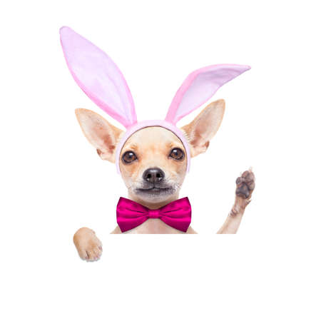 bunny ears: chihuahua dog  with bunny easter ears and a pink tie, behind white blank banner or placard waving with paw, isolated on white background