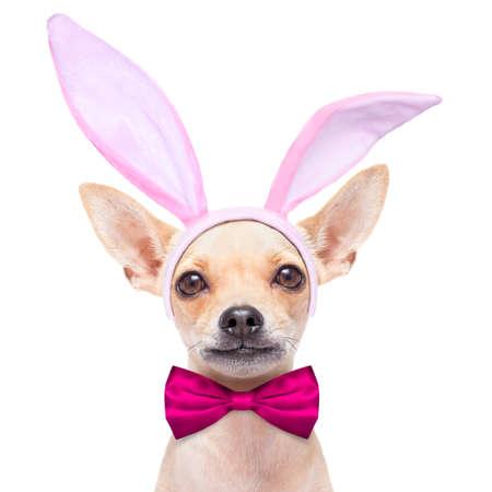 perros vestidos: perro chihuahua vestido con el conejito de Pascua orejas y un lazo rosa, aislado en fondo blanco Foto de archivo
