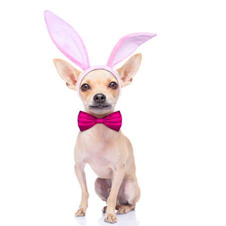 chihuahua dog  with bunny easter ears and a pink tie, isolated on white background