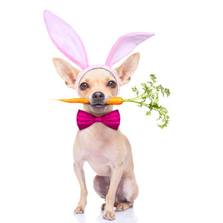 chihuahua dog  with bunny easter ears and a pink tie, with a carrot in mouth, isolated on white background photo
