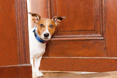 vítejte: Jack Russell teriér pes ve dveřích doma sledoval dům