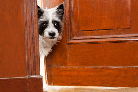 guest house: Terrier dog at the door at home watching the house from behind