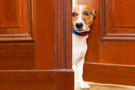 dog sitting: jack russell terrier dog at the door at home watching from behind with curiosity and scared Stock Photo