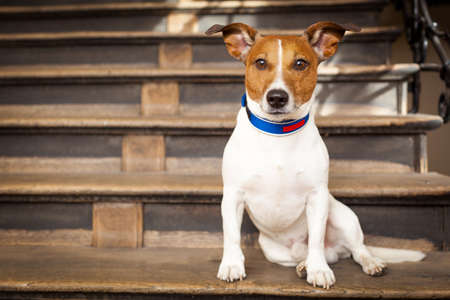 puppy: jack russell terrier dog left alone outside home  on the stairs, ready for a walk with owner Stock Photo