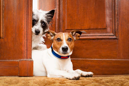 house pet: couple of dogs watching at the door at home , on the doormat Stock Photo
