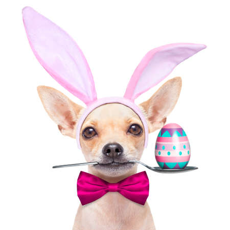 chihuahua dog  dressed with bunny easter ears and a pink tie with egg on spoon, isolated on white background Stock Photo