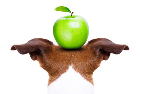 surprised dog: jack russell dog balancing a green apple on the head  , isolated on white background Stock Photo